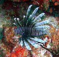 South Point Barbados Lion Fish.JPG