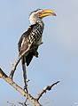 Southern Yellow-billed Hornbill, Tockus leucomelas, at Elephant Sands Lodge, Botswana (32285342105).jpg