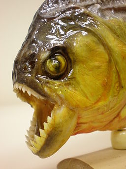 Souvenir piranha jaw detail