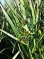 Sparganium erectum subsp. neglectum sl1.jpg