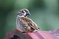 Sparrow (6789342910).jpg