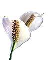 Spathiphyllum1.jpg