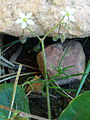 Spergula arvensis Habitus 2010-3-7 DehesaBoyalPuertollano.jpg