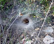 Funnel web of an agelenid from Spain
