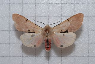 <i>Spilosoma clava</i> species of insect