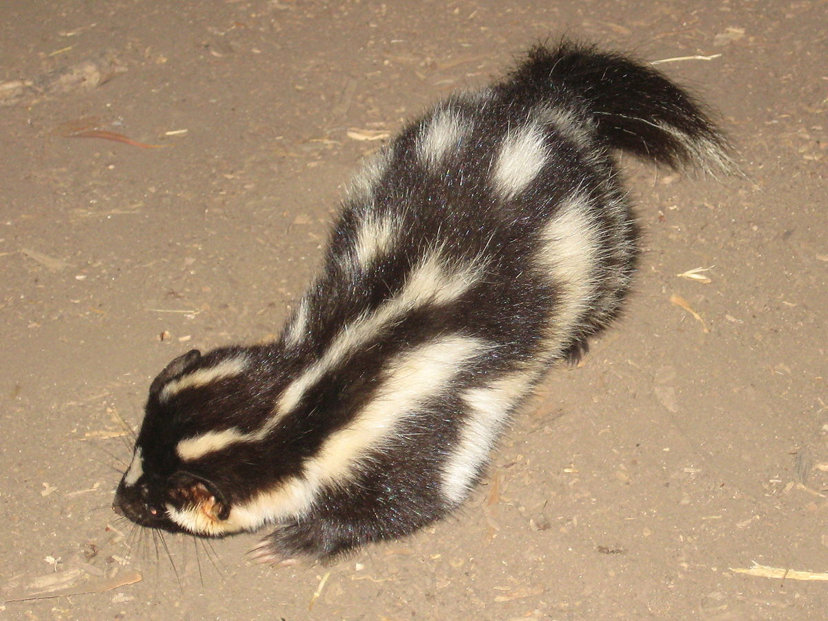 Channel Islands spotted skunk Wikipedia