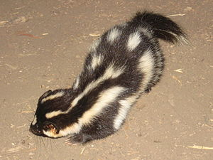 Wildlife of the Channel Islands of California - An Island Spotted Skunk.