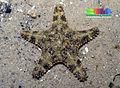 Spiny sea star (Gymnanthenea laevis).jpg