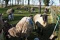 Spring Lambs - geograph.org.uk - 1219645.jpg