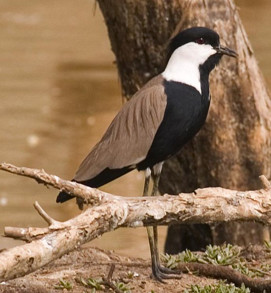 Payl:Spur-winged-PloverforWIKI2007.jpg