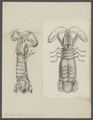 Squilla mantis - - Print - Iconographia Zoologica - Special Collections University of Amsterdam - UBAINV0274 097 13 0005.tif