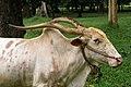 Sri Lanka, Peradeniya Botanical Gardens, White Bull.jpg