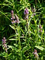 Stachys officinalis wood betony at Woods Mill, Sussex Wildlife Trust, England.jpg