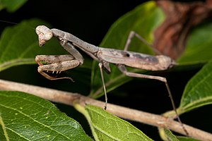Carolina mantis - Adult female Carolina mantis