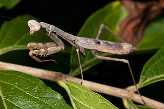 Carolina mantis species of insect