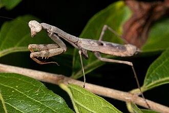 Centuria Insectorum - Stagmomantis carolina, named in Centuria Insectorum as Gryllus carolinus