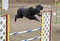 Standard Poodle blue agility.jpg