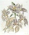 Stanhopea oculata - Edwards vol. 21 pl. 1800 (1836).jpg