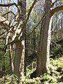 Starý strom v Zámeckém parku Kyselka 2.jpg