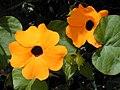 Starr-010419-0035-Thunbergia alata-flowers-Kula-Maui (24532201665).jpg