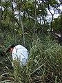 Starr-020620-0093-Coccinia grandis-habit with Russell-Kapalua-Maui (23921819964).jpg