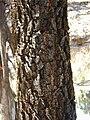 Starr-031013-0014-Acacia mangium-bark-Hamakuapoko-Maui (24647375246).jpg