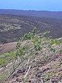 Starr-040331-0422-Nicotiana glauca-habit-Kanaio-Maui (24674504526).jpg