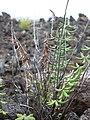 Starr-040514-0027-Pellaea ternifolia-habit-Kanaio-Maui (24406815650).jpg