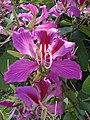 Starr-061109-1479-Bauhinia x blakeana-flowers-Kokomo Rd Haiku-Maui (24501163449).jpg