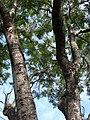 Starr-080417-4088-Jacaranda mimosifolia-trunk and canopy-Makawao-Maui (24906945895).jpg
