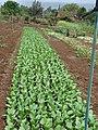Starr-090421-6291-Brassica rapa var chinensis-crop-Pukalani-Maui (24325571703).jpg