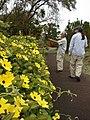Starr-090430-7046-Thunbergia alata-cv Sundance yellow flowers habit with Takeda and Kim-Enchanting Floral Gardens of Kula-Maui (24658305010).jpg