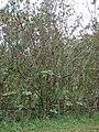 Starr-090601-8692-Montanoa hibiscifolia-along fence-Ulupalakua-Maui (24330318104).jpg