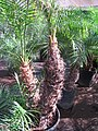 Starr-110209-0774-Phoenix roebelenii-trunk-Resort Management Group Nursery Kihei-Maui (24443956684).jpg