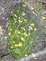 Starr-110811-8094-Lapsana communis-flowering habit-Halemauu Trail HNP-Maui (25077009656).jpg