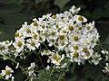 Starr-111129-1525-Montanoa hibiscifolia-flowers-Ulupalakua-Maui (25027249681).jpg