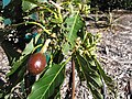 Starr-130201-1632-Persea americana-var Little Cado tiny fruit forming-Hawea Pl Olinda-Maui (25178925616).jpg
