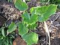 Starr-130319-3093-Philodendron sp-habit-Kilauea Pt NWR-Kauai (25115432451).jpg