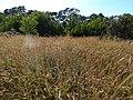 Starr-141229-3342-Andropogon virginicus-seeding habit-Hoku Nui Piiholo-Maui (24623639713).jpg