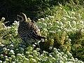 Starr-150326-0618-Lobularia maritima-Pacific Golden Plover-Charlie Barracks Sand Island-Midway Atoll (24639748343).jpg