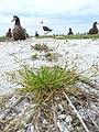 Starr-150402-0723-Poa annua-habit on abandoned runway with Laysan Albatrosses-Northeast Eastern Island-Midway Atoll (25155590262).jpg