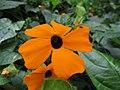 Starr-160210-3755-Thunbergia alata-flower-Hawea Pl Olinda-Maui (26947480985).jpg