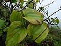 Starr-170727-0537-Smilax melastomifolia-leaves-Makamakaole-Maui - Flickr - Starr Environmental.jpg
