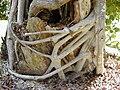 Starr 001228-0143 Ficus microcarpa.jpg