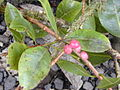 Starr 020813-0040 Syzygium sandwicensis.jpg