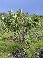 Starr 040514-0303 Bocconia frutescens.jpg
