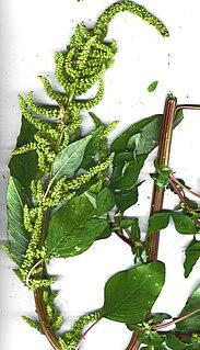 <i>Amaranthus dubius</i>