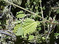 Starr 040723-0099 Hesperocnide sandwicensis.jpg
