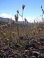 Starr 040723-0129 Dianthus armeria.jpg