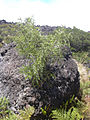 Starr 040813-0013 Sophora chrysophylla.jpg